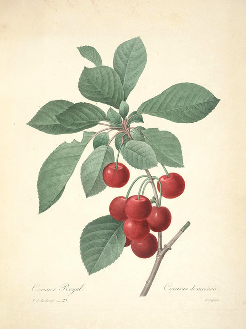 Art Prints of Cherry, Plate 26 by Pierre-Joseph Redoute