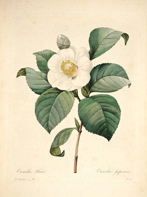 Art Prints of Common Camellia, Plate 81 by Pierre-Joseph Redoute