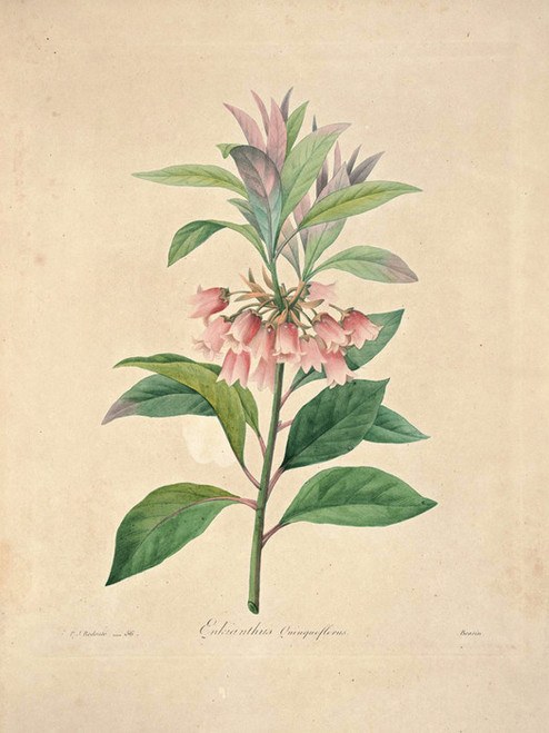 Art Prints of Enkianthus, Plate 59 by Pierre-Joseph Redoute