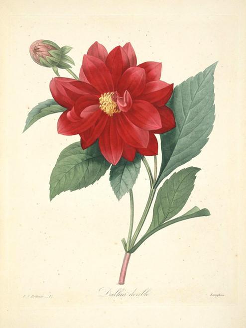 Art Prints of Double Dahlia, Plate 20 by Pierre-Joseph Redoute