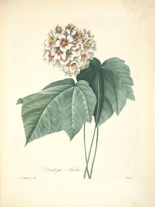 Art Prints of Dombeya Amelia, Plate 52 by Pierre-Joseph Redoute