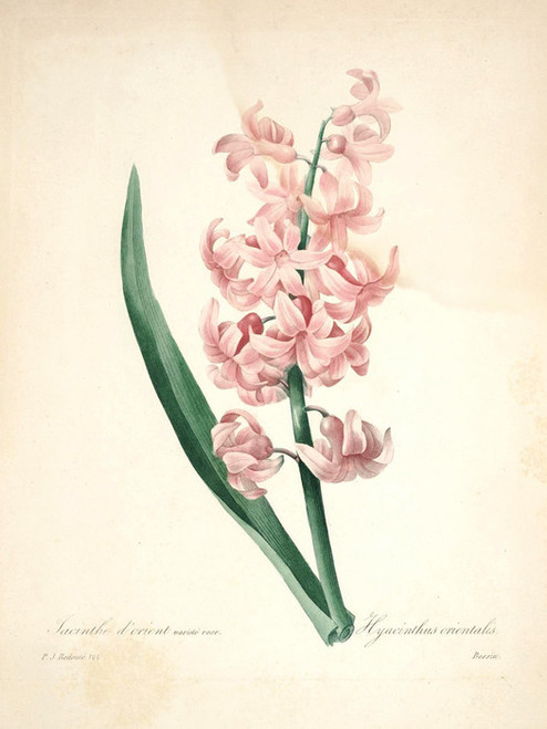 Art Prints of Garden Hyacinth, Plate 103 by Pierre-Joseph Redoute