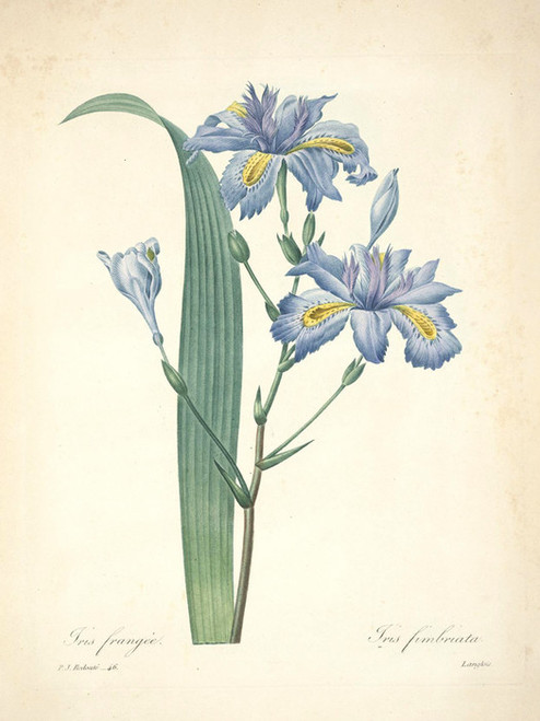 Art Prints of Fringed Iris, Plate 49 by Pierre-Joseph Redoute