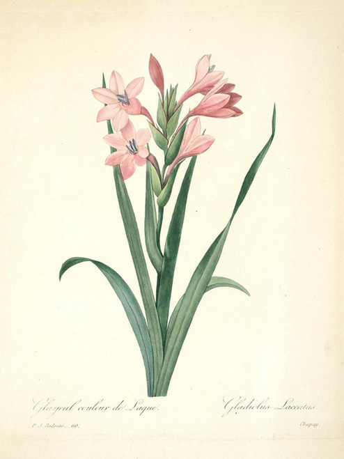 Art Prints of Gladiolus, Plate 63 by Pierre-Joseph Redoute