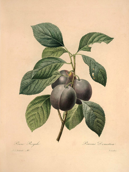 Art Prints of Garden Plum, Plate 95 by Pierre-Joseph Redoute