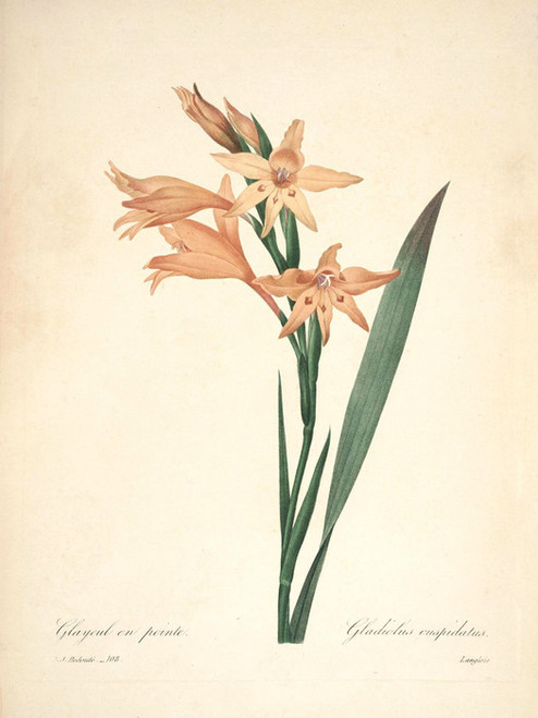Art Prints of Gladiolus, Plate 111 by Pierre-Joseph Redoute