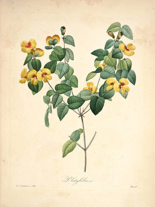 Art Prints of Handsome Flat Pea, Plate 108 by Pierre-Joseph Redoute