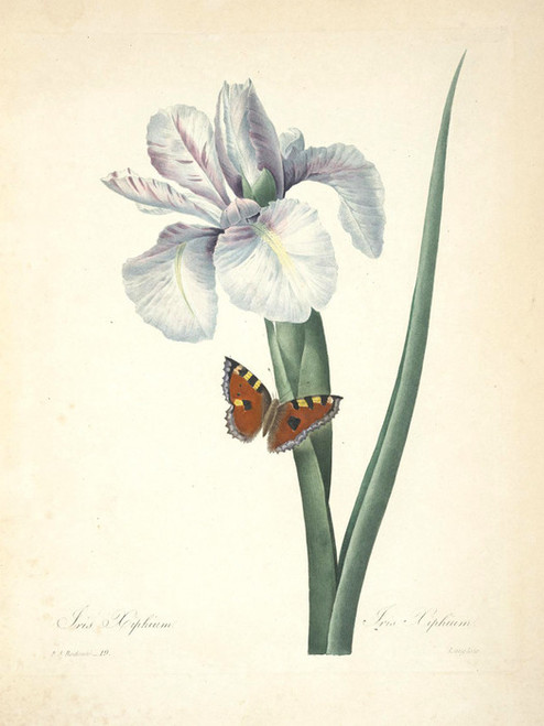 Art Prints of Iris, Plate 22 by Pierre-Joseph Redoute