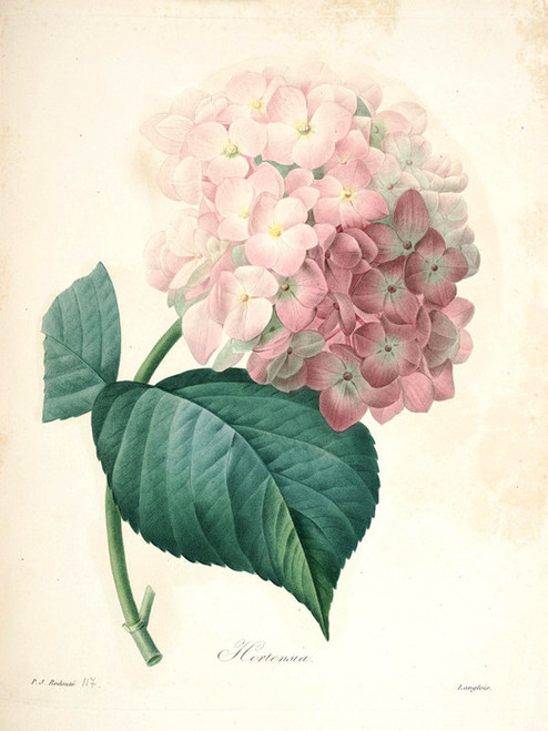 Art Prints of Hydrangea-Or-Hortensia, Plate 120 by Pierre-Joseph Redoute