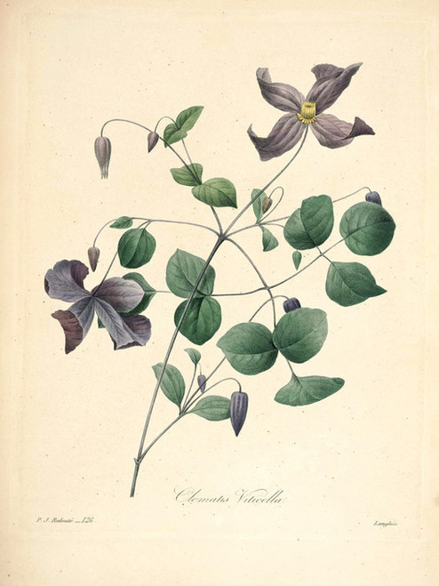 Art Prints of Italian Leather Flower, Plate 128 by Pierre-Joseph Redoute