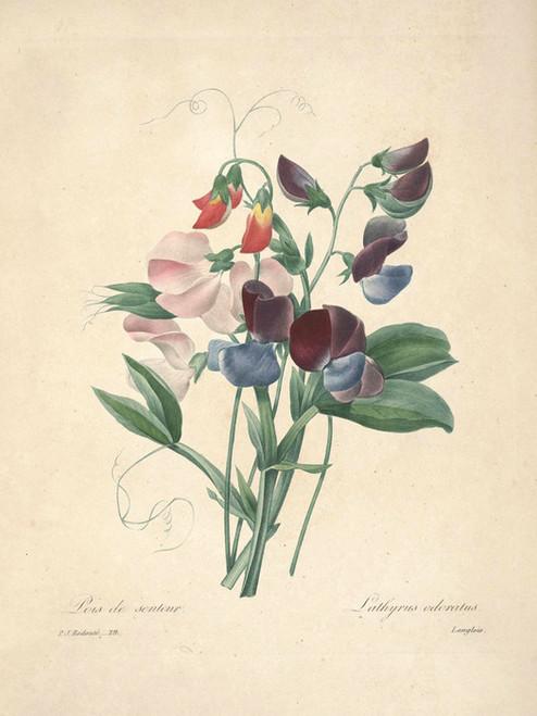 Art Prints of Lathyrus, Plate 32 by Pierre-Joseph Redoute