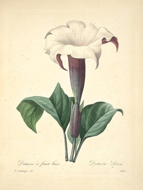 Art Prints of Jimsonweed, Plate 23 by Pierre-Joseph Redoute