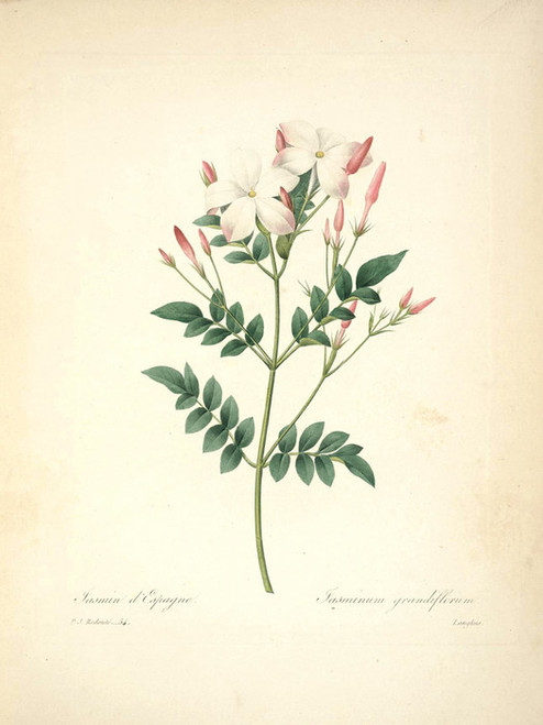 Art Prints of Jasmine, Plate 57 by Pierre-Joseph Redoute