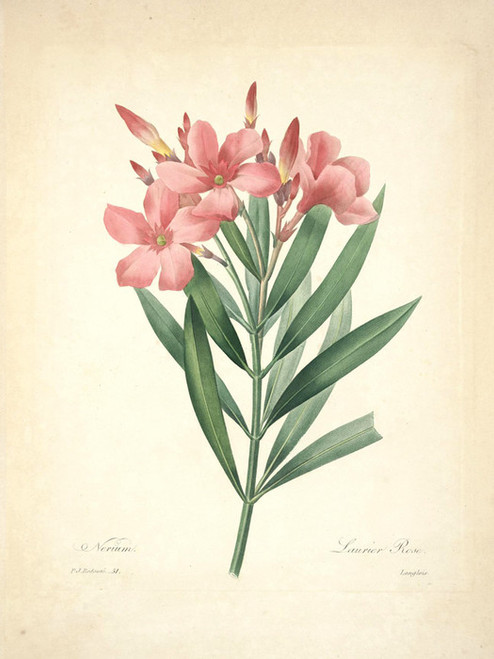 Art Prints of Laurier-Rose, Plate 54 by Pierre-Joseph Redoute