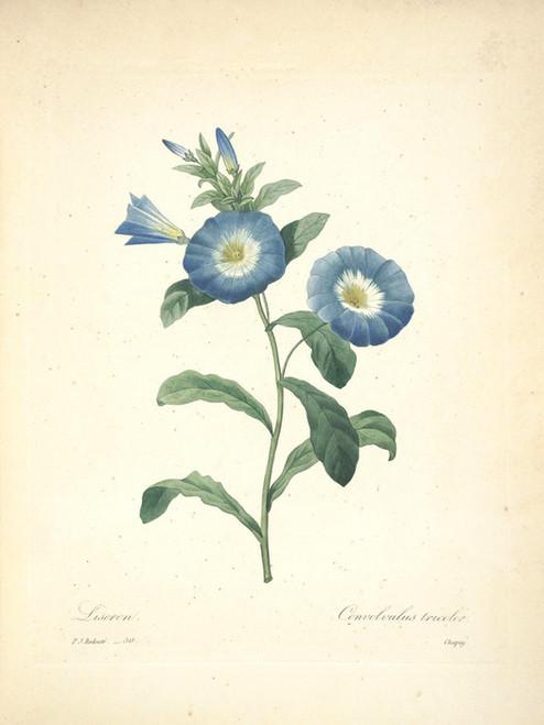Art Prints of Liseron, Plate 53 by Pierre-Joseph Redoute