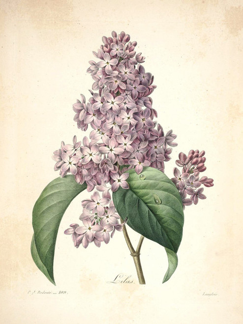 Art Prints of Lilac, Plate 112 by Pierre-Joseph Redoute