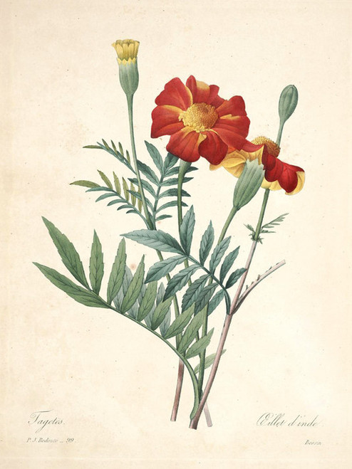 Art Prints of Marigold, Plate 102 by Pierre-Joseph Redoute