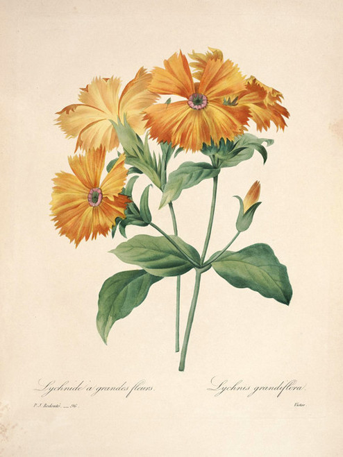 Art Prints of Lychnis, Plate 99 by Pierre-Joseph Redoute