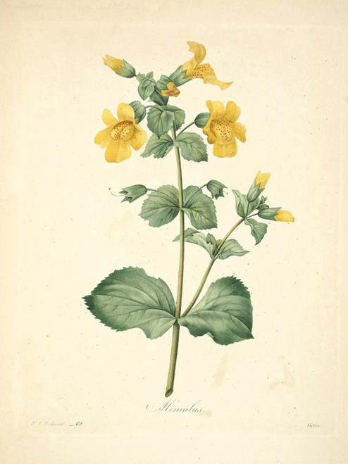 Art Prints of Monkeyflower, Plate 72 by Pierre-Joseph Redoute