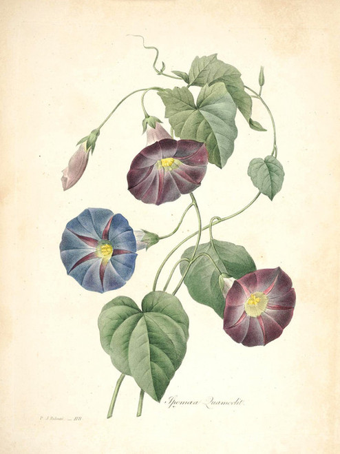 Art Prints of Morning-glory, Plate 121 by Pierre-Joseph Redoute