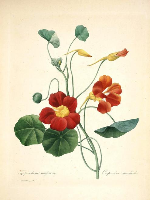 Art Prints of Nasturtium, Plate 77 by Pierre-Joseph Redoute