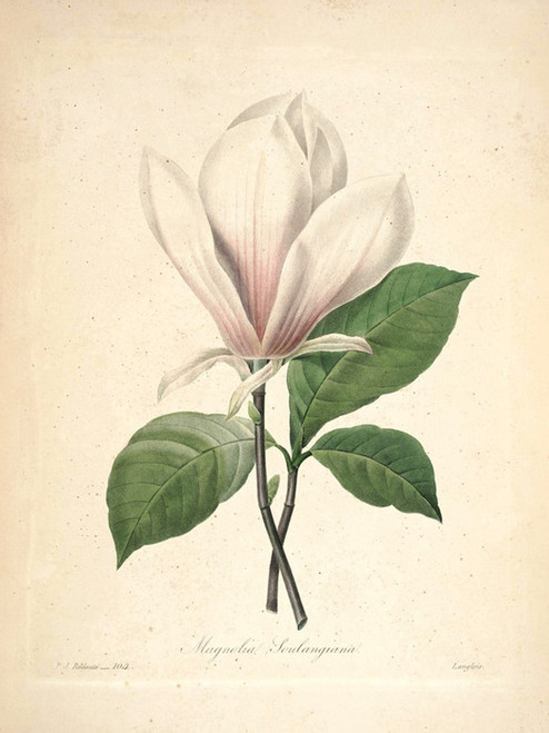 Art Prints of Magnolia, Plate 107 by Pierre-Joseph Redoute