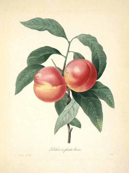 Art Prints of Peache, Plate 31 by Pierre-Joseph Redoute