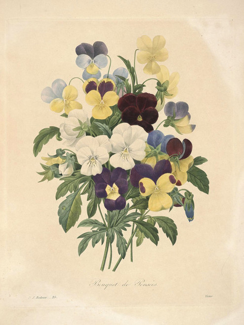 Art Prints of Pansies, Plate 28 by Pierre-Joseph Redoute