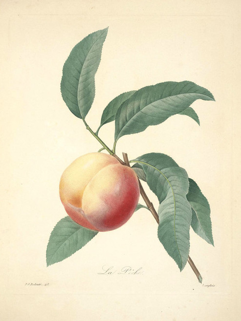 Art Prints of Peach, Plate 46 by Pierre-Joseph Redoute
