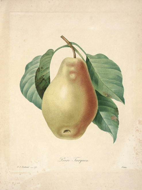Art Prints of Pear, Plate 58 by Pierre-Joseph Redoute