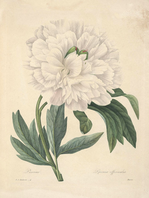 Art Prints of Peony, Plate 7 by Pierre-Joseph Redoute