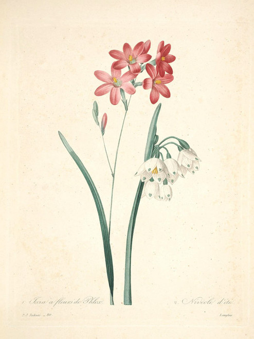 Art Prints of Phlox, Plate 83 by Pierre-Joseph Redoute