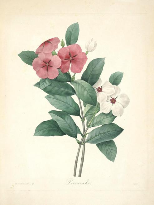 Art Prints of Periwinkle, Plate 44 by Pierre-Joseph Redoute