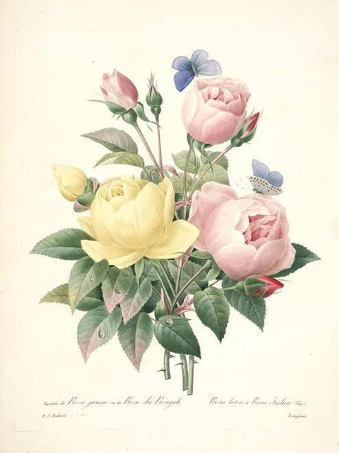 Art Prints of Persian Yellow Rose and Tea Rose, Plate 143 by Pierre-Joseph Redoute
