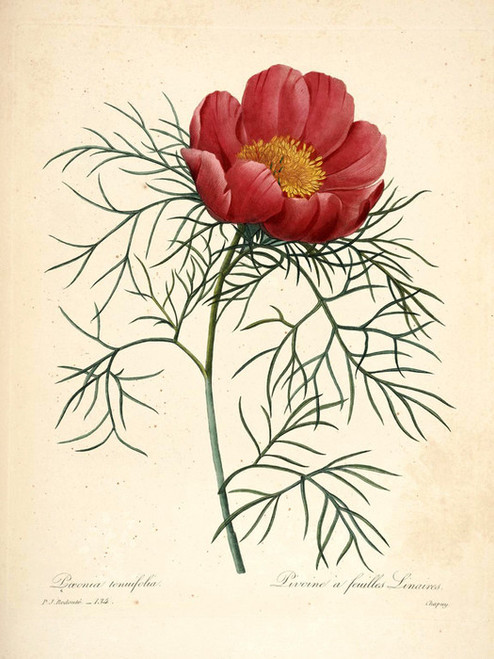 Art Prints of Peony, Plate 136 by Pierre-Joseph Redoute