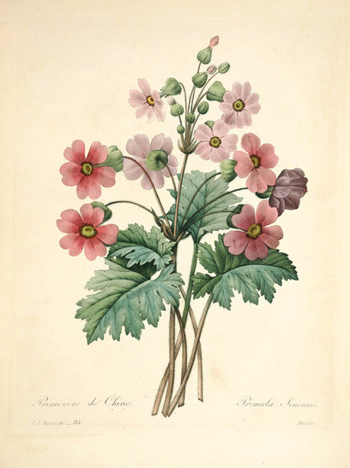 Art Prints of Primrose, Plate 88 by Pierre-Joseph Redoute
