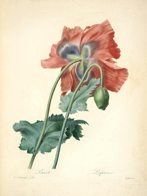 Art Prints of Poppy, Plate 16 by Pierre-Joseph Redoute