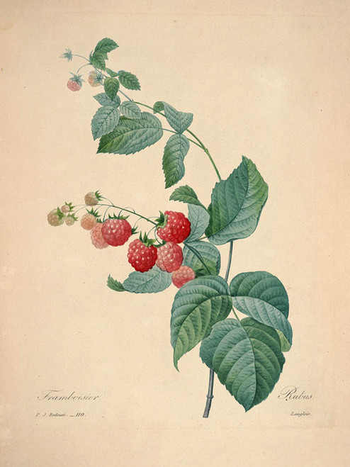 Art Prints of Raspberry, Plate 113 by Pierre-Joseph Redoute