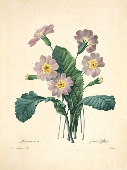 Art Prints of Primrose, Plate 98 by Pierre-Joseph Redoute