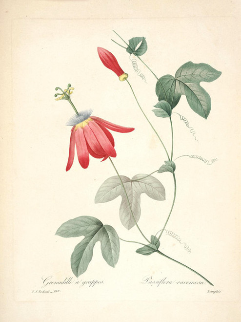 Art Prints of Red Passion Flower, Plate 144 by Pierre-Joseph Redoute