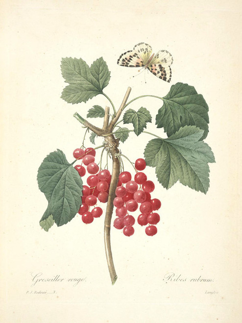 Art Prints of Ribes Rubrum, Plate 6 by Pierre-Joseph Redoute