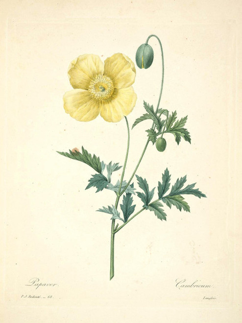Art Prints of Poppy, Plate 71 by Pierre-Joseph Redoute