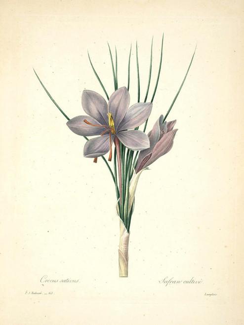 Art Prints of Saffron Crocus, Plate 66 by Pierre-Joseph Redoute