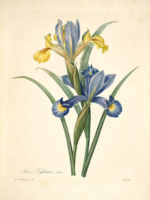 Art Prints of Spanish Iris, Plate 94 by Pierre-Joseph Redoute