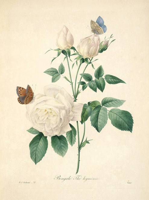 Art Prints of Tea Rose, Plate 74 by Pierre-Joseph Redoute