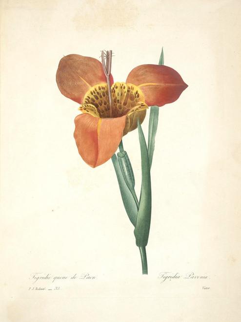 Art Prints of Tiger Flower, Plate 38 by Pierre-Joseph Redoute