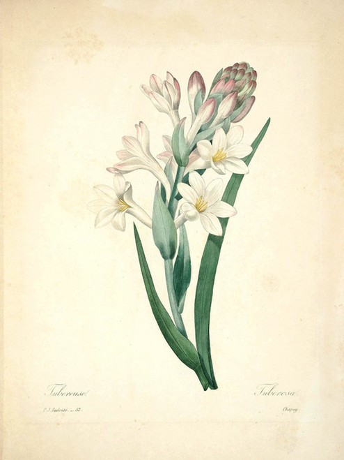 Art Prints of Tuberose, Plate 55 by Pierre-Joseph Redoute