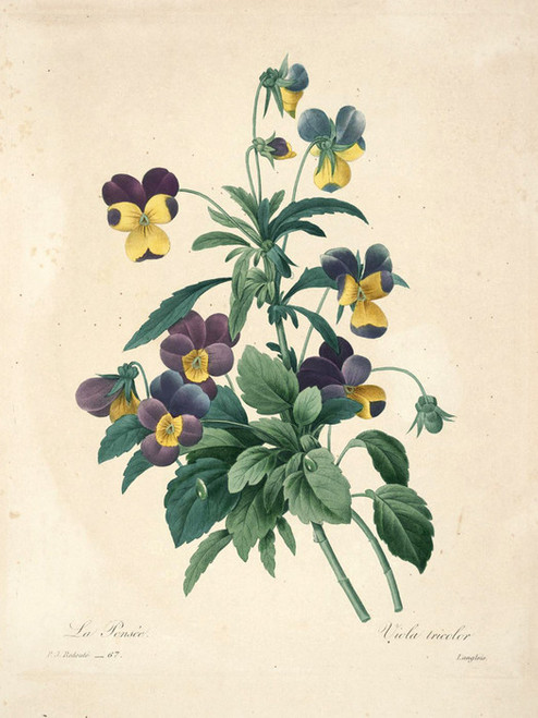 Art Prints of Tricolor Pansy, Plate 70 by Pierre-Joseph Redoute