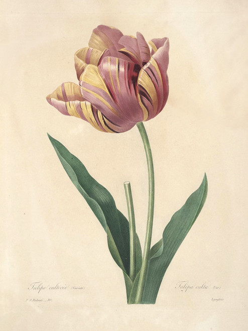 Art Prints of Tulip, Plate 13 by Pierre-Joseph Redoute