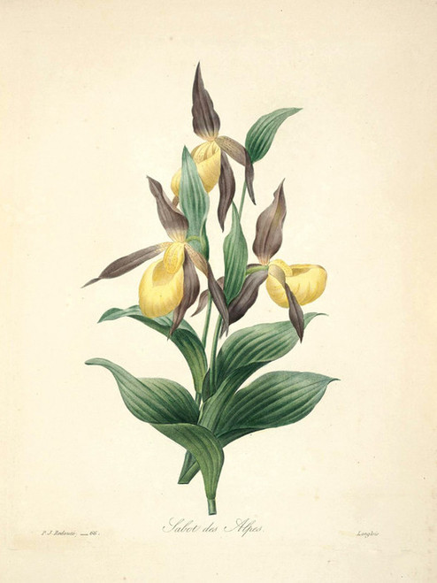 Art Prints of Yellow Ladyslipper, Plate 69 by Pierre-Joseph Redoute
